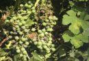 L'arte del vino: i nemici della vite