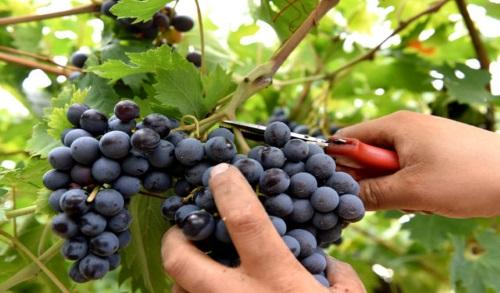 L'arte del vino: la vendemmia